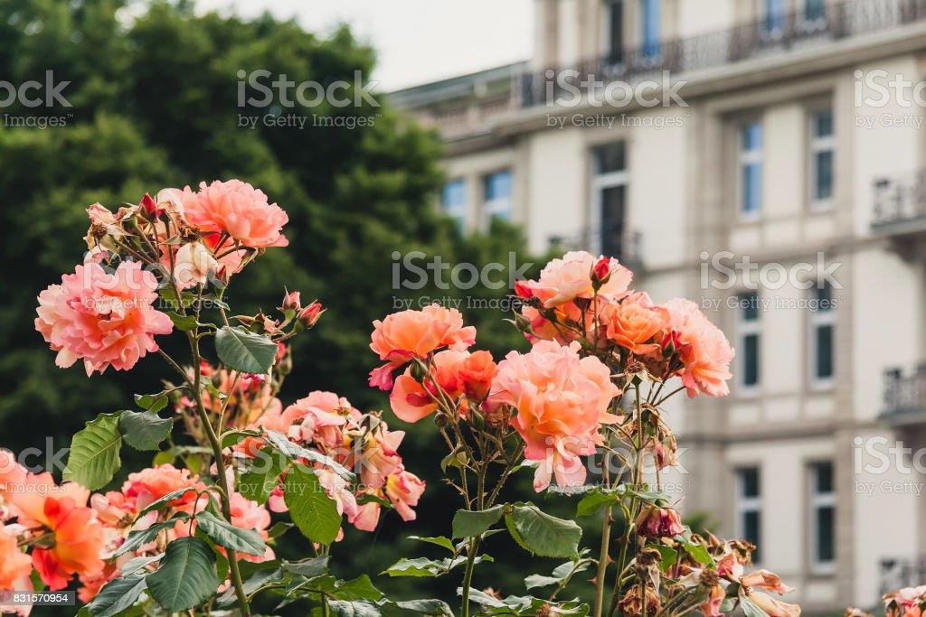 Beautiful peach colored roses stock photo