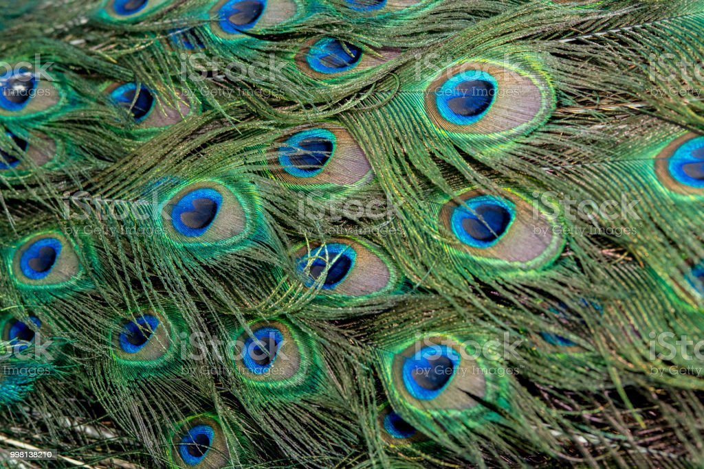 Beautiful Peacock Feathers For Background Stock Photo ...