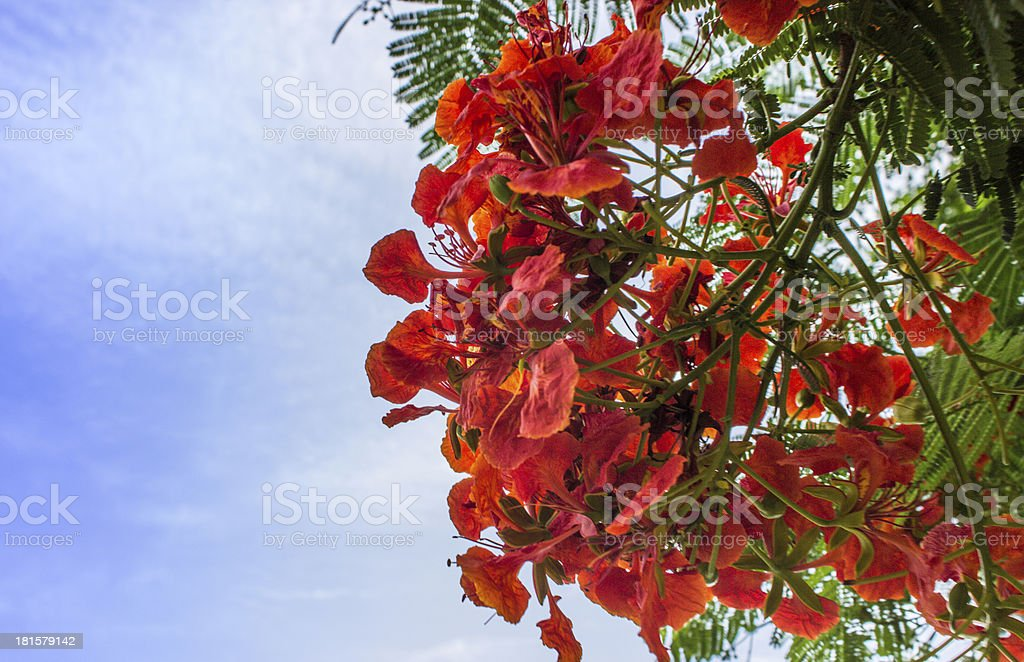 Beautiful peacock flowers with blue sky royalty-free stock photo