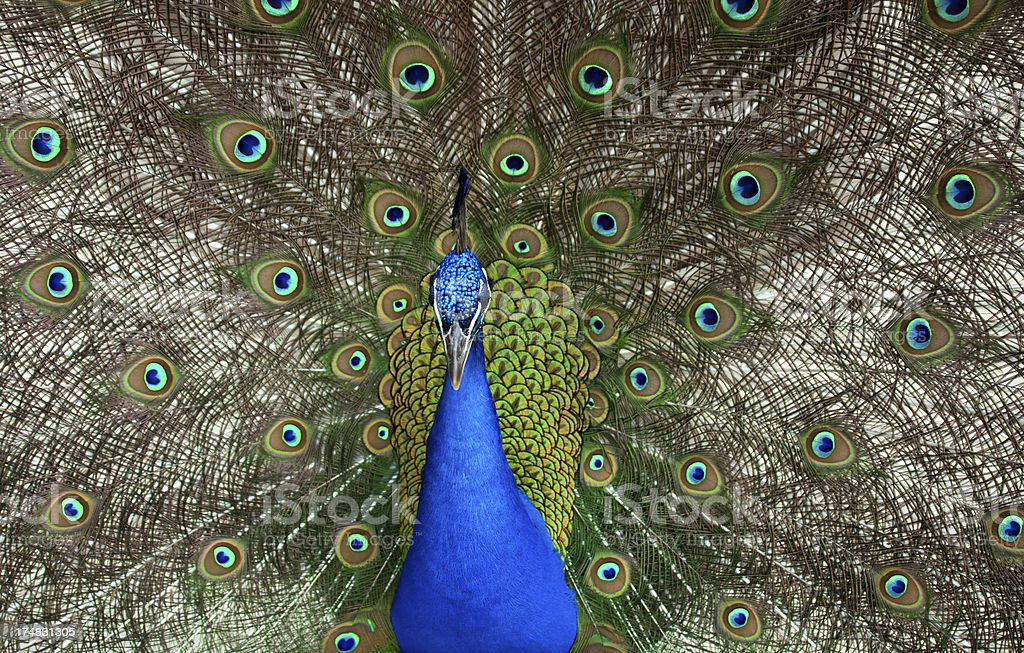 beautiful peacock royalty-free stock photo