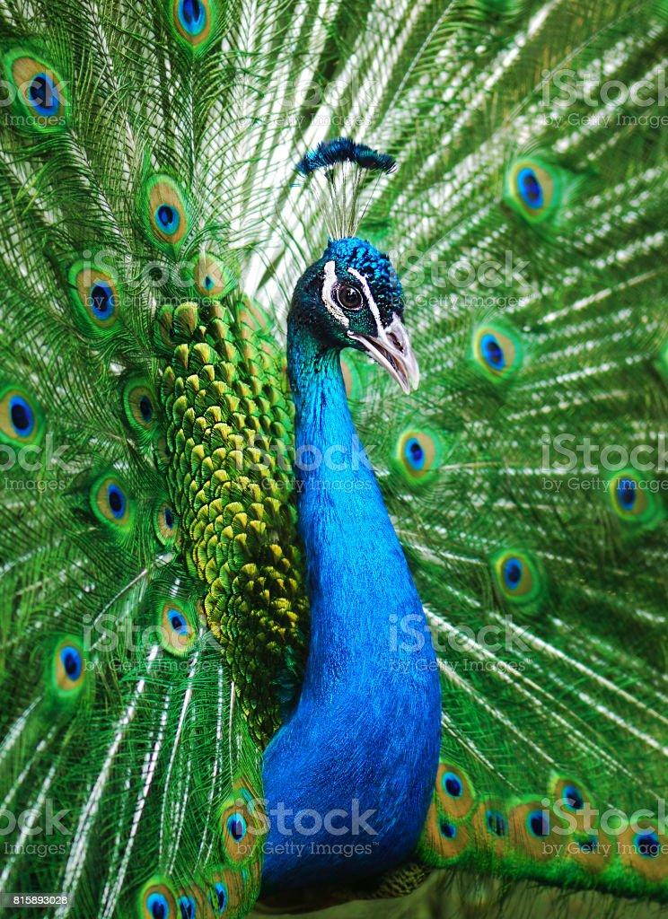Schöne peacock – Foto