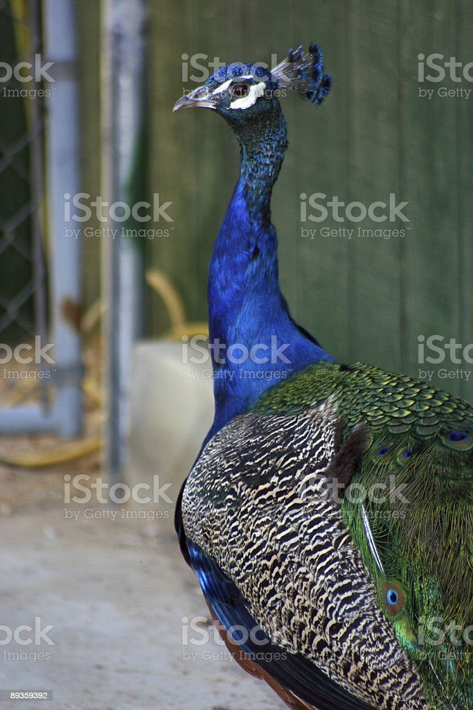 beautiful peacock royalty free stockfoto