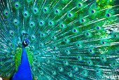 'The Indian Paecock, Pavo cristatus, displays its brilliant plumage - a splendid display of greens all around.'
