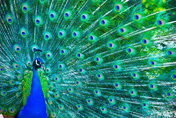 Beautiful peacock picture id91772501?b=1&k=6&m=91772501&s=612x612&w=0&h=mxwla6fbtp0 tx5rwsagvl3dww26jvzlbpxjuuibfus=