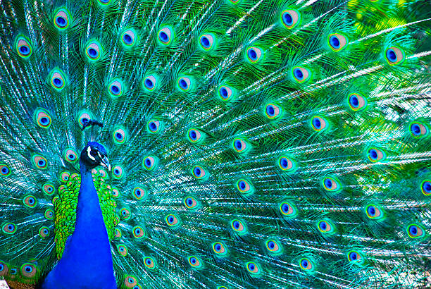 beautiful peacock - zoo stock pictures, royalty-free photos & images