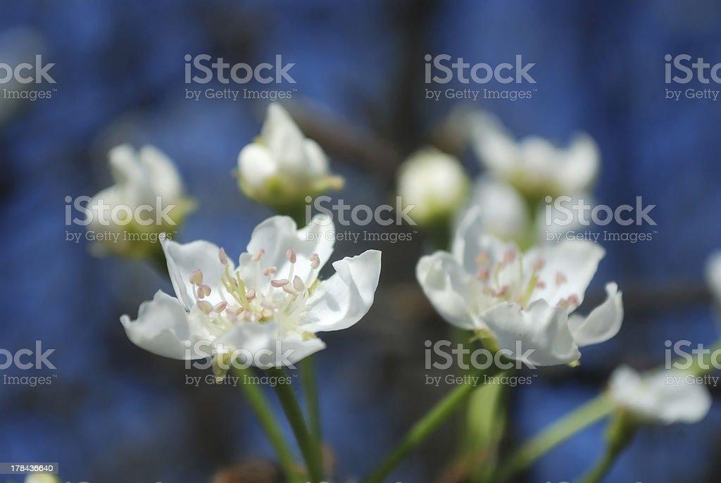 Beautiful Pear flower royalty-free stock photo