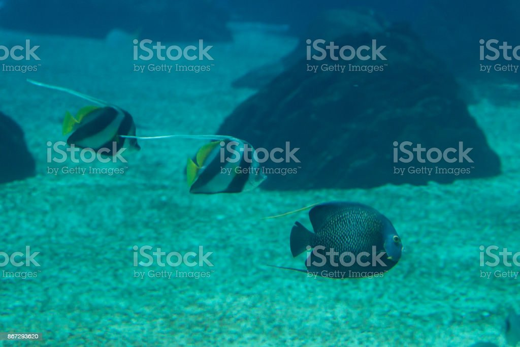 Beautiful Pearlscale Butterflyfishes, Chaetodon xanthurus inside stock photo