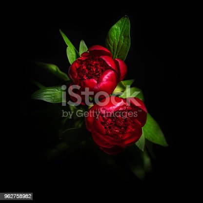 istock Beautiful peony flower isolated on black background 962758982