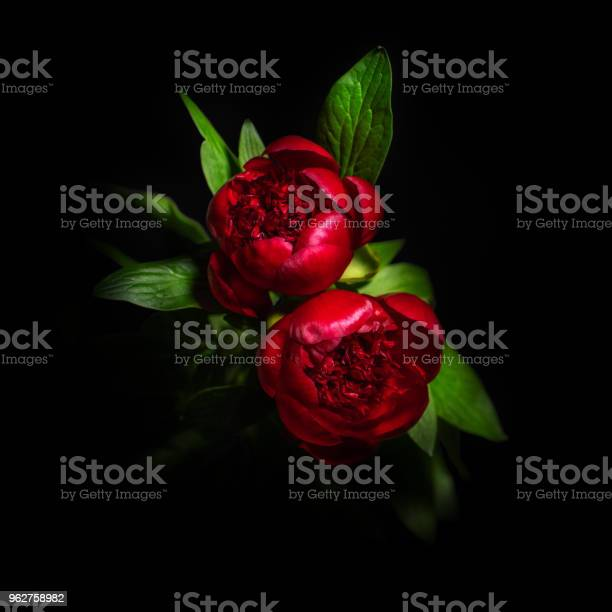 Beautiful peony flower isolated on black background picture id962758982?b=1&k=6&m=962758982&s=612x612&h=ban9zkxuvasspf jqagf6csjy5vxpakvxi8ydn3aly4=
