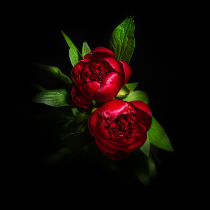 Beautiful Peony Flower Isolated On Black Background Stock ...