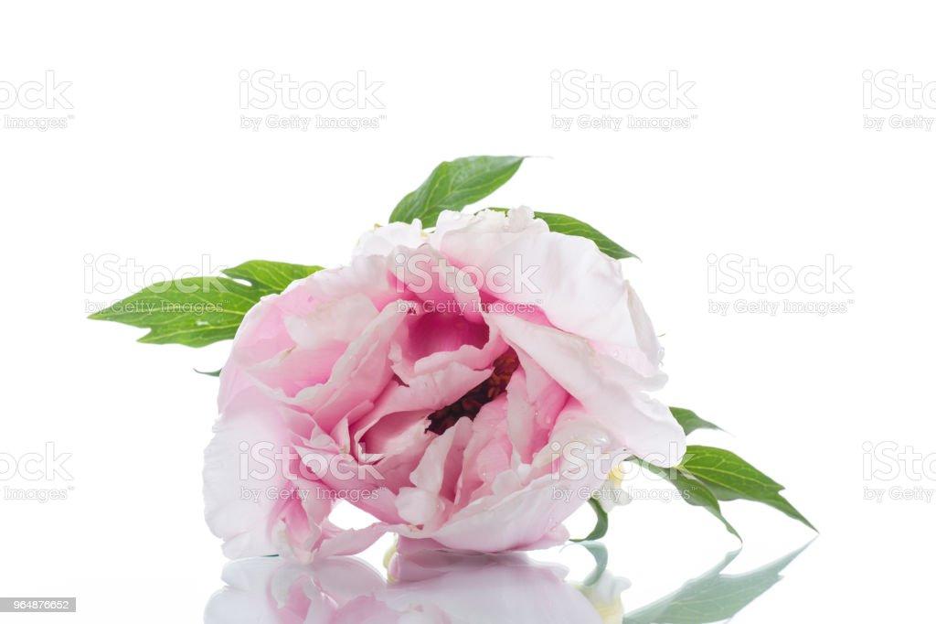 美麗的牡丹花 - 免版稅一個物體圖庫照片