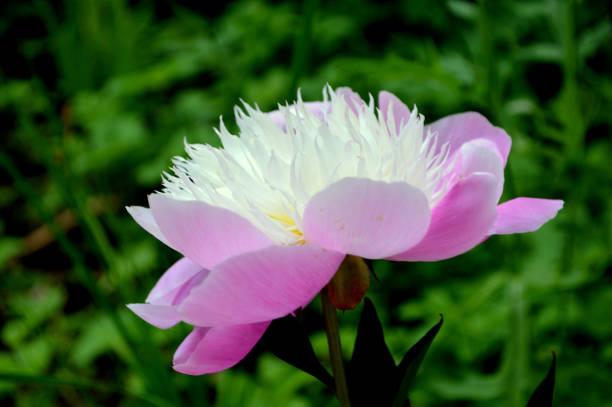 Beautiful peony in bloom stock photo
