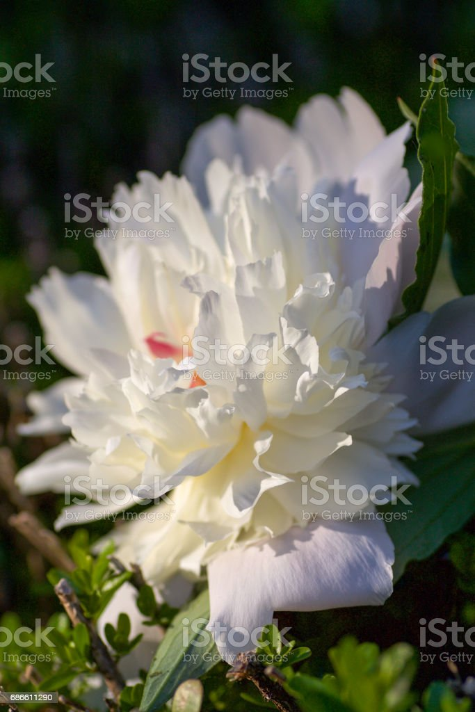 beautiful peony seen from profile in the light of sunset royalty-free stock photo