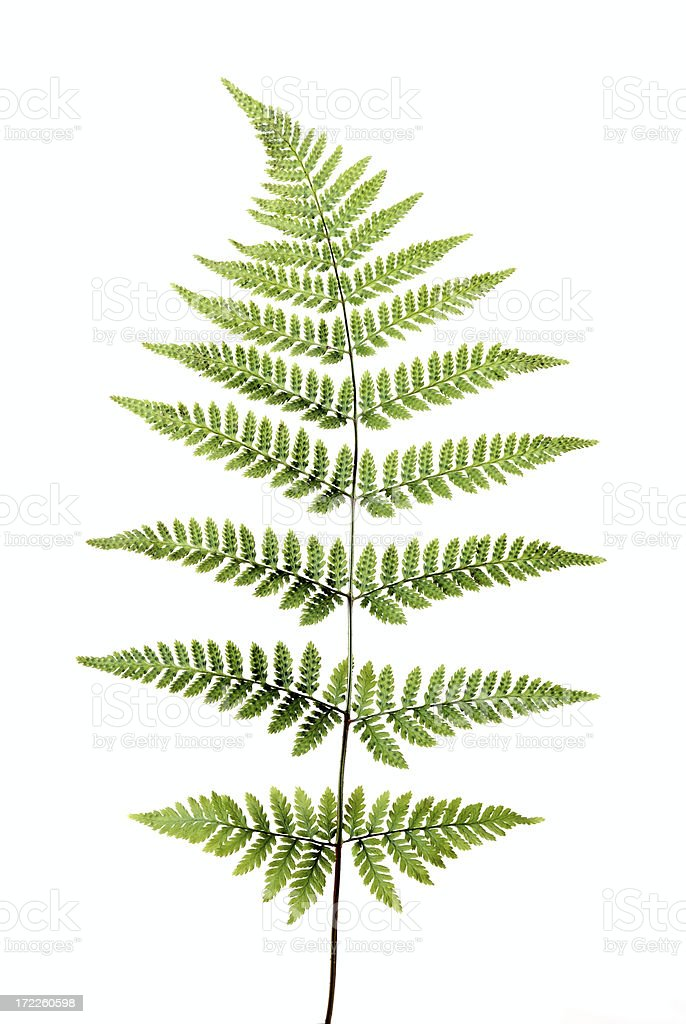 Beautiful perfect fern stock photo