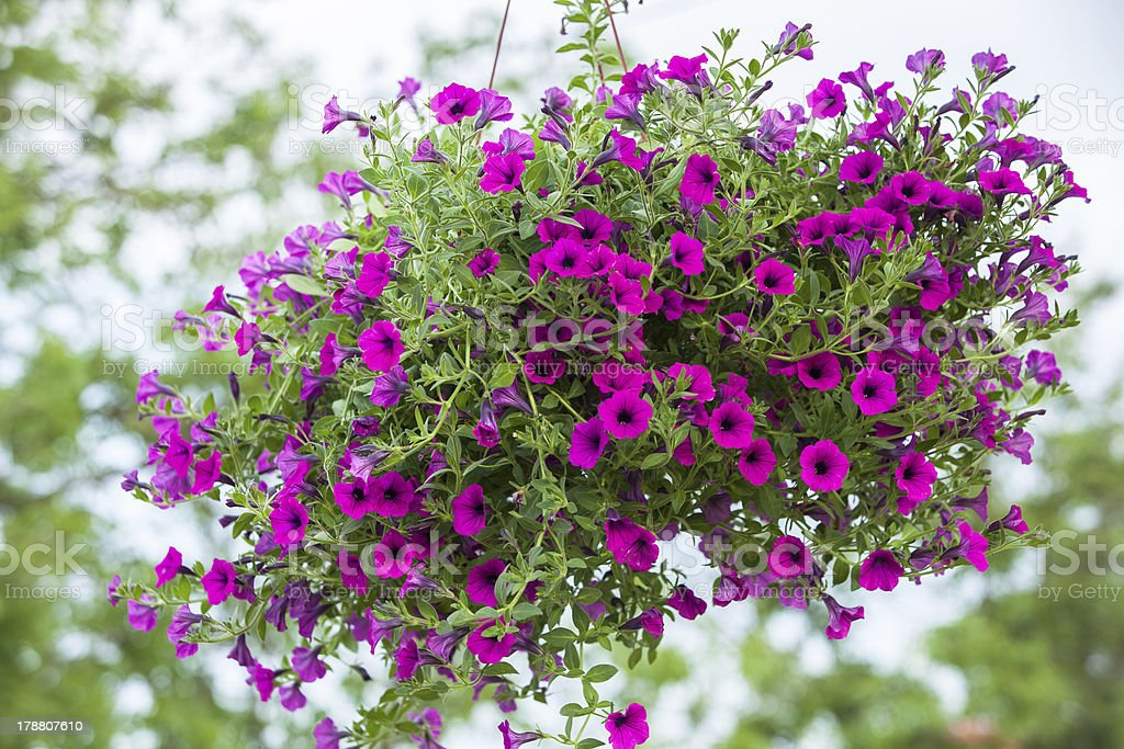 Beautiful petunia flower stock photo