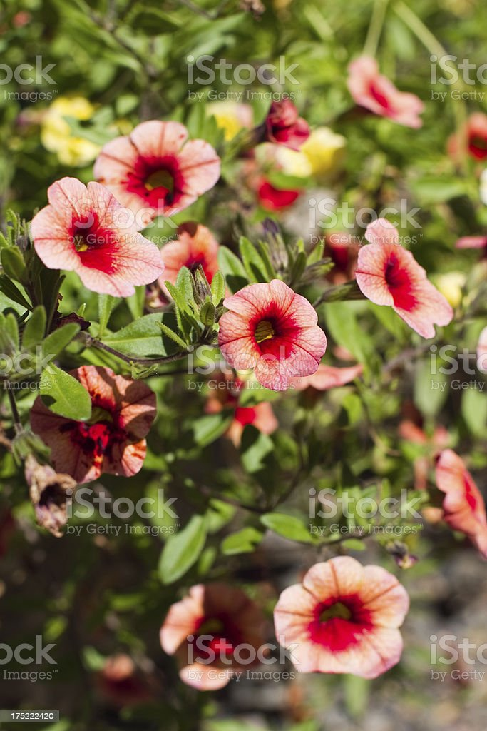 Beautiful Petunia Flowers in the Summer Gardens royalty-free stock photo
