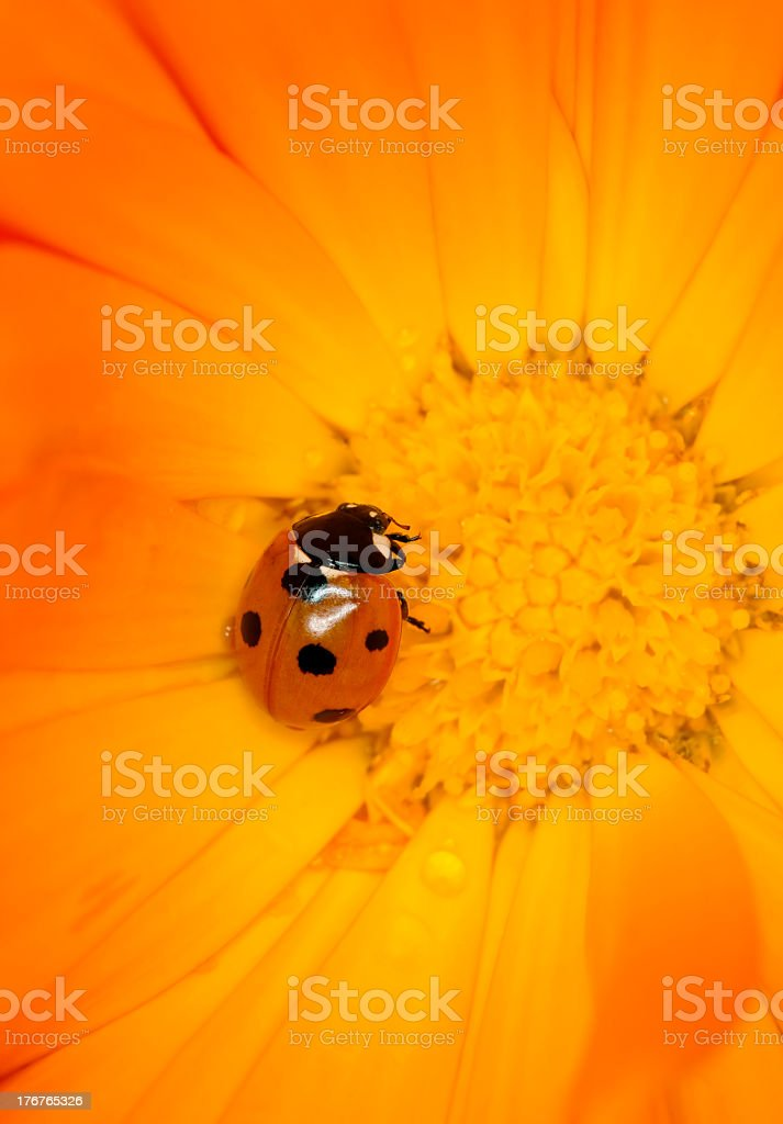 Beautiful photo of a ladybird resting in flower. stock photo