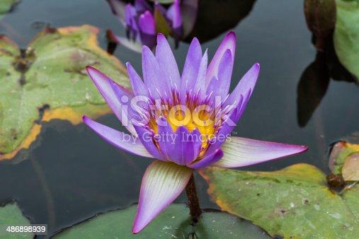 istock Beautiful photo of lilac lotus . 486898939