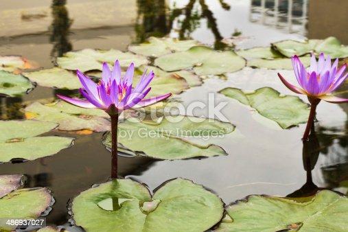 istock Beautiful photo of lilac lotus . 486937027