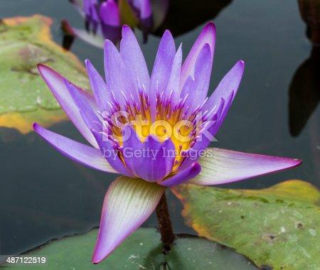 istock Beautiful photo of lilac lotus . 487122519