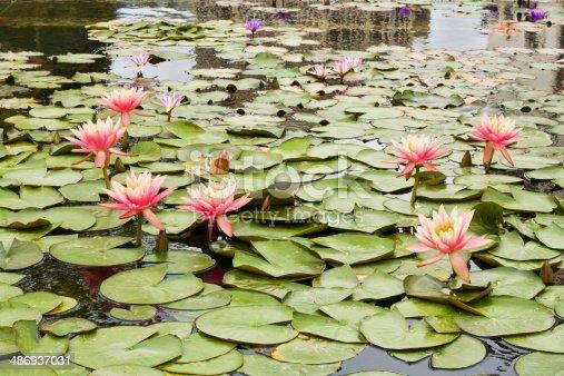 istock Beautiful photo of pink lotus . 486937031