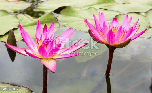 istock Beautiful photo of pink lotus . 487122517