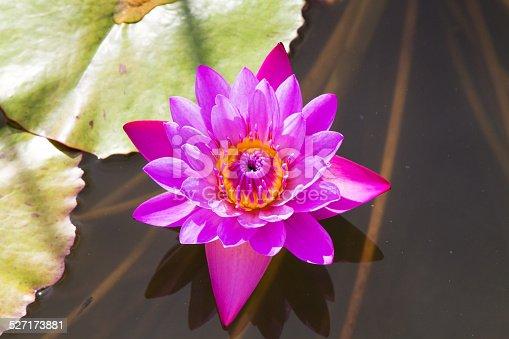istock Beautiful photo of pink lotus . 527173881