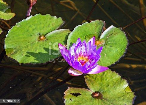 istock Beautiful photo of pink lotus . 527861427