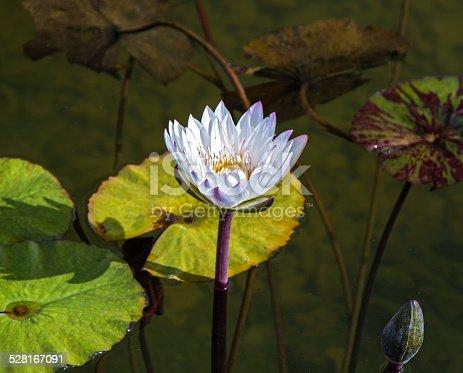 istock Beautiful photo of white lotus . 528167091
