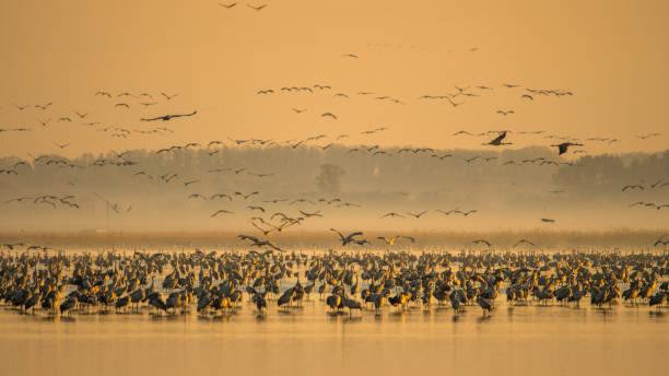 Schöne Fotografie einer riesigen Herde von Vögeln. Gewöhnliche Kraniche (rus grus). – Foto