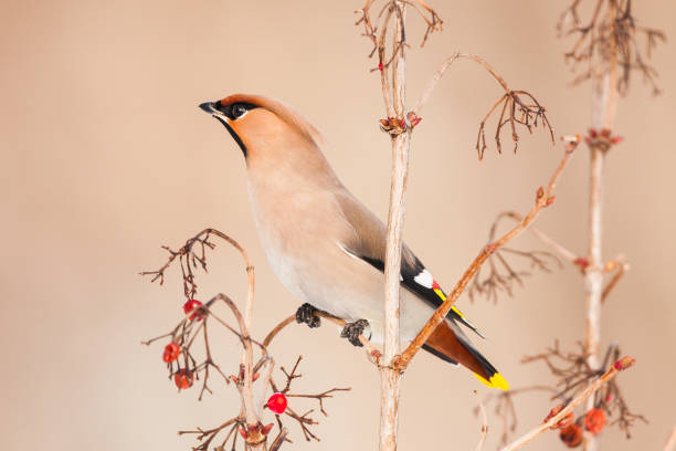 Beautiful picture of  Bohemian Waxwing, Bombycilla garrulus. A bird sits on a branch with red berries. Wildlife scene from Czech Republic stock photo