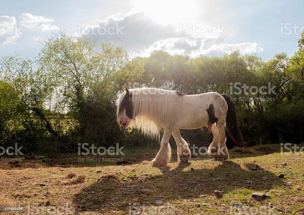Beautiful Piebald Horse on a farm. stock photo