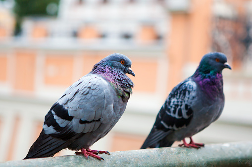 Beautiful Pigeon Close Up Stock Photo - Download Image Now
