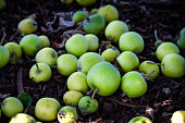 Beautiful pile of green apples on the ground that have fallen from the tree above.