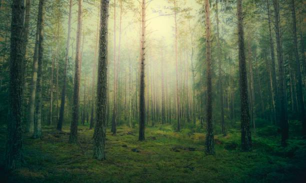 vacker tallskog vid dimmigt sol uppgång. - pine forest sweden bildbanksfoton och bilder