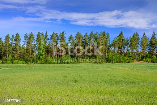 Rural Finland. Beautiful pine forest on green meadow and blue sky background, beautiful summer landscape, Imatra, Finland.