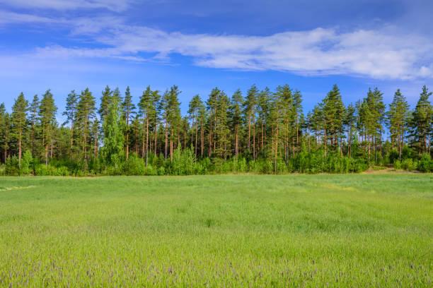 Schöner Pinienwald auf grüner Wiese und blauem Himmel – Foto