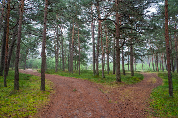 Beautiful pine forest on the Baltic sea seaside. Poland Beautiful pine forest on the Baltic sea seaside. Poland fork in the road stock pictures, royalty-free photos & images