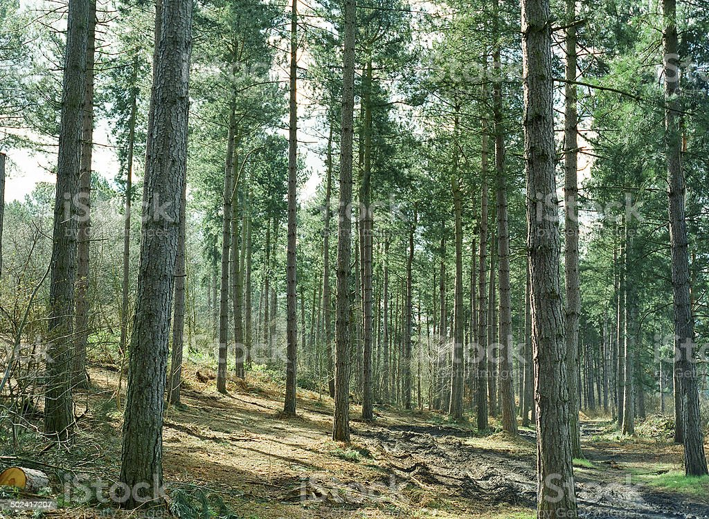 Beautiful pine forest summer day stock photo
