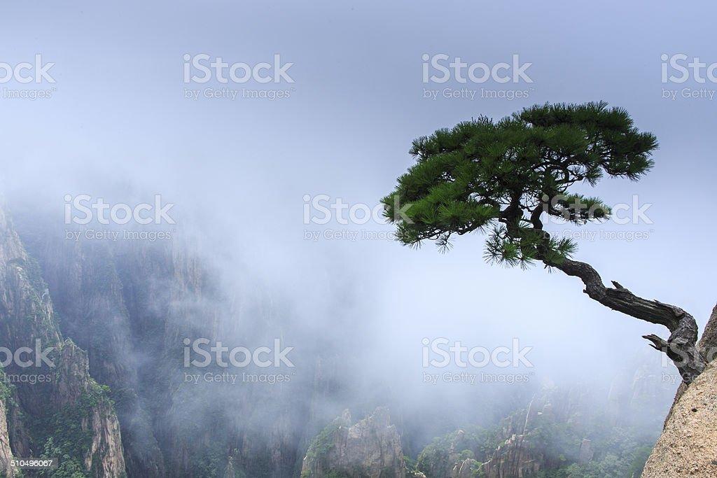 Wunderschöne pine in Berg Huang – Foto
