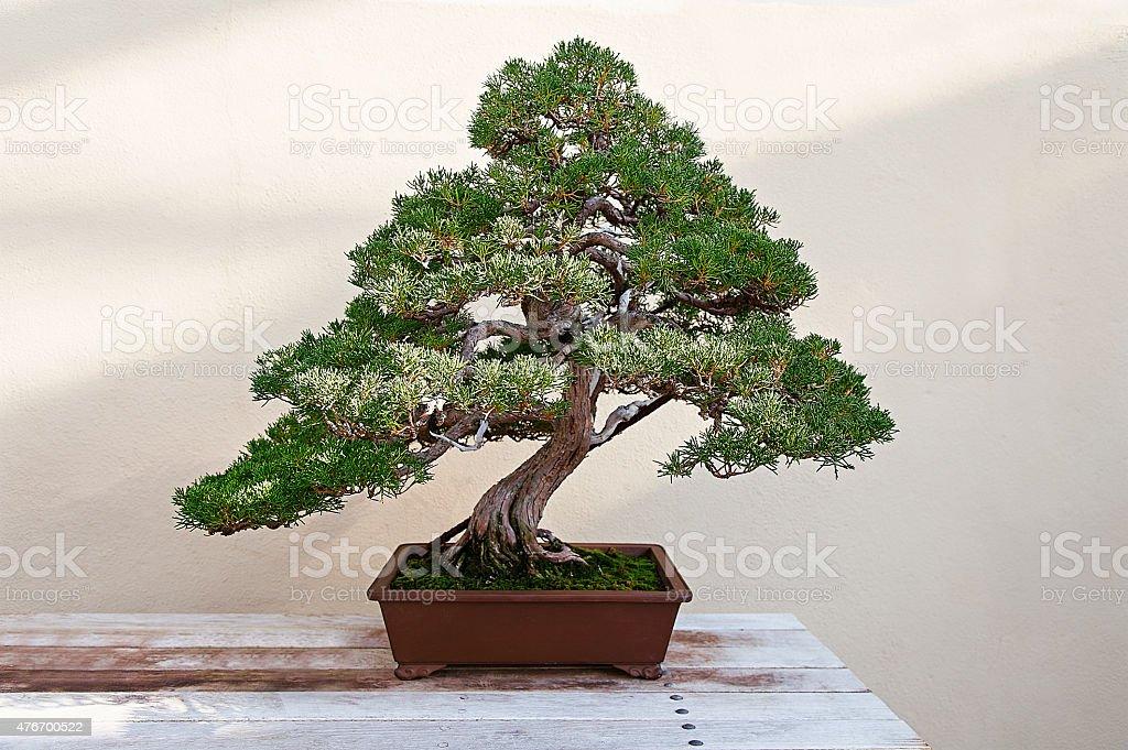 Wunderschöne Kiefer bonsai – Foto