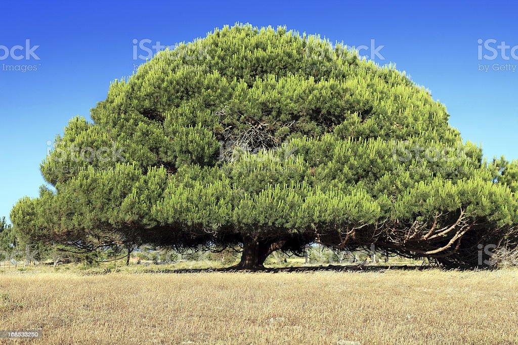 Beautiful pine tree stock photo