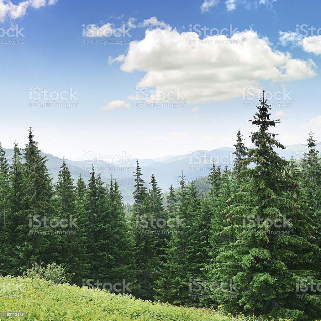 Beautiful pine trees stock photo