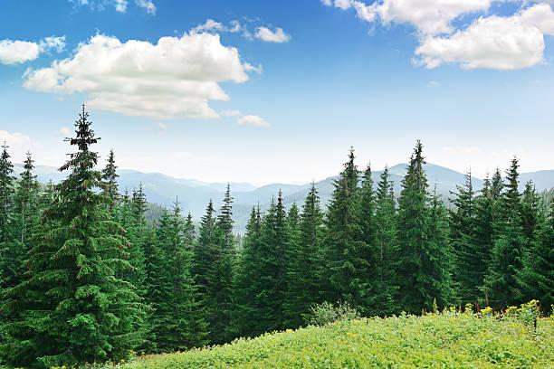 beautiful pine trees - forest bildbanksfoton och bilder
