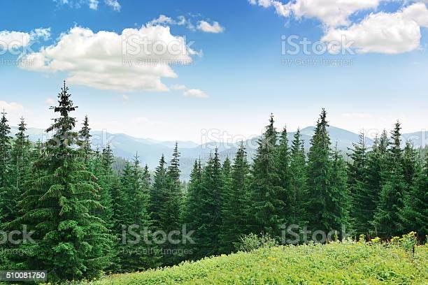 Photo of Beautiful pine trees
