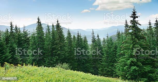 Beautiful pine trees picture id534680623?b=1&k=6&m=534680623&s=612x612&h=5zj4bh33qurzwj7x6fhbte9r3ggxcxjo 36rpkn7syg=