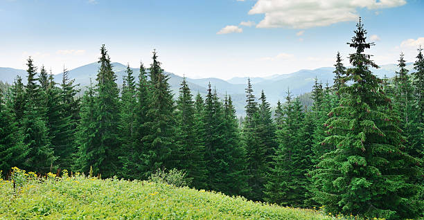 beautiful pine trees - pine tree stock photos and pictures