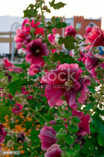 beautiful pink and orange flowers isolated in sunny day, blue sky, green grass. Flower decoration