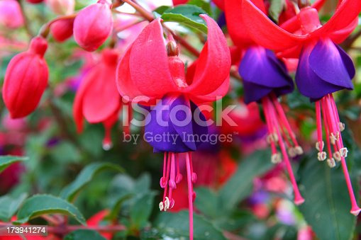 close-up of fuschia blossom and buds