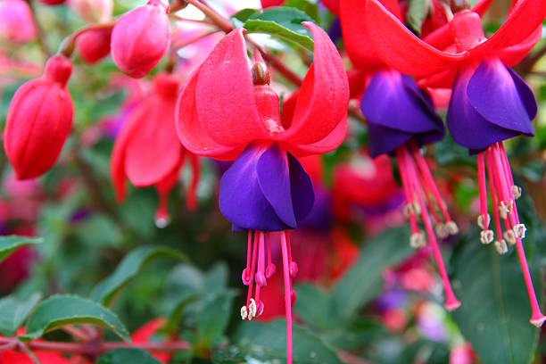 beautiful pink and purple fuchsia blossoms - foderblad bildbanksfoton och bilder